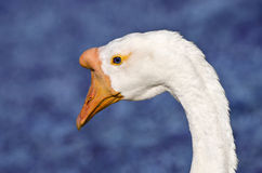 White Chinese Goose (Anser cygnoides) Royalty Free Stock Images