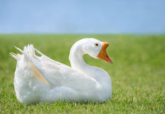 White Chinese Goose Anser cygnoides Stock Image