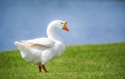 White Chinese Goose Anser cygnoides Stock Photography
