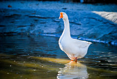 White Chinese goose. Goose comes to the lake. Photo Royalty Free Stock Photography