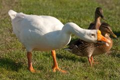 White Chinese Goose Royalty Free Stock Images