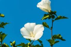 White china rose flower in a garden. White Chinese Hibiscus, China rose flower in a garden stock images