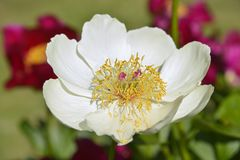White Chinese peony flower stock image