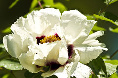 A close-up of white Chinese peony in the morning l. This plant is of great botanical interest and ornamental value Stock Photo