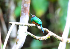 White-chinned Jacamar Stock Photo