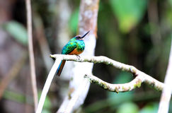White-chinned Jacamar Royalty Free Stock Photo