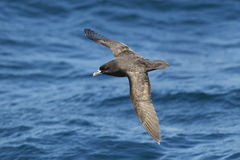 White chinned Petrel against a blurred blue sea. White chinned petrel (Procellaria aequinoctialis)  against a blurred blue sea. Cape Town, South Africa Royalty Free Stock Photo