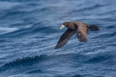 White-chinned Petrel in flight stock photos
