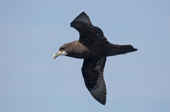 White-chinned Petrel in flight Royalty Free Stock Photo