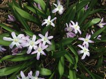 White Chionodoxa Plants Blossoming in Spring in Garden. Royalty Free Stock Image