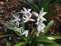 White Chionodoxa Plants Blossoming in Spring in Garden. Royalty Free Stock Photos