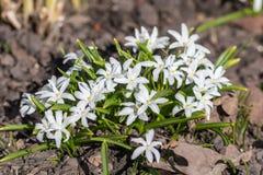 White chionodoxa in the spring. Garden closeup Royalty Free Stock Photos