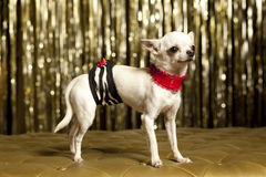 White Chiuaua. Dog with short hair Royalty Free Stock Photos