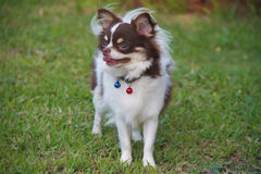 White with chocolate chihuahua dog. White with chocolate chihuahua on grass Stock Image