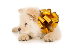White chow chow with bow Royalty Free Stock Images