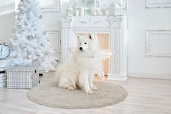 White Christmas decorations in studio with dog. The Samoyed and christmas tree Stock Image