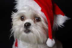 White christmas dog. Maltese and Shih-Tzu mix white dog dressed for christmas Royalty Free Stock Photo