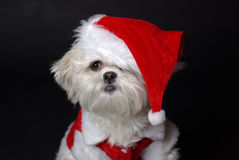 White christmas dog. Maltese and Shih-Tzu mix white dog dressed for christmas Stock Image