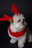 White christmas dog. Maltese and Shih-Tzu mix white dog dressed for christmas Stock Photos