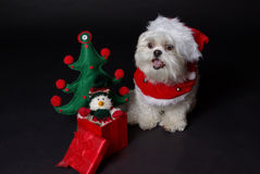 White christmas dog. Maltese and Shih-Tzu mix white dog dressed for christmas Royalty Free Stock Photos