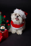 White christmas dog. Maltese and Shih-Tzu mix white dog dressed for christmas Stock Images