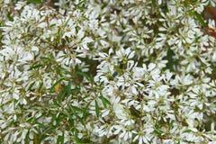 White Christmas flower Stock Images