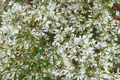 White Christmas flower. For background Stock Images