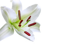 White Christmas Lily Stock Images