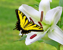 White Christmas Lily with a Swallowtail Butterfly Stock Photo