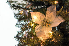 White Christmas Poinsettia Royalty Free Stock Photo