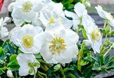 White Christmas rose Hellebores flowers. Evergreen perennial flowering plant- White Christmas rose - Hellebores flowers stock images