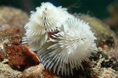 White Christmas Tree Worm. Christmas Tree Worm-Spirobranchus giganteus Royalty Free Stock Images
