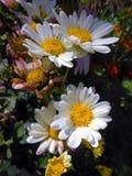 White chrusanthemums in autumn garden. Stock Photos