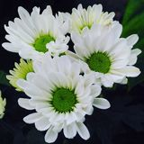 White Chrysant. The flower for sanctity Royalty Free Stock Photo