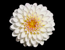 White chrysanthemum. A closeup photograph of a chrysanthemum isolated on black stock photo