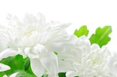 White chrysanthemum Royalty Free Stock Images