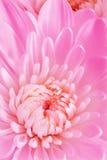 White Chrysanthemum. Royalty Free Stock Images