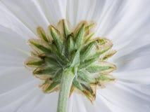 White Chrysanthemum. Royalty Free Stock Photography