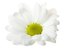 White chrysanthemum Stock Image