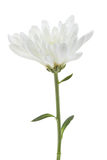 White chrysanthemum Royalty Free Stock Photo