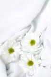 White chrysanthemum Stock Photos