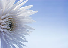 White chrysanthemum. With blue background Stock Photography