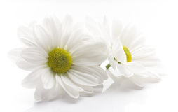 White chrysanthemum. Stock Photography