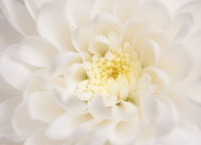 White chrysanthemum Royalty Free Stock Images
