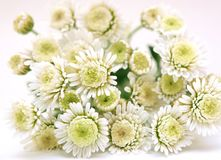 Free White Chrysanthemum Royalty Free Stock Photography - 34947807