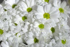 White chrysanthemum. A bouquet of white chrysanthemums Royalty Free Stock Photography