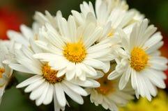 White chrysanthemum. The beautiful white chrysanthemum in full bloom Stock Images