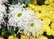 White chrysanthemum, adobe rgb royalty free stock image
