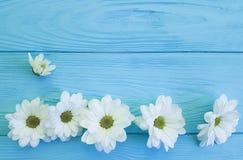 White chrysanthemum birthday bloom on blue wooden. White chrysanthemum on blue wooden birthday bloom Stock Images