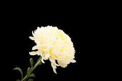 White chrysanthemum Stock Photo